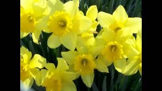 ✿Rebecca Tripp✿ - The Waltz of the Daffodils