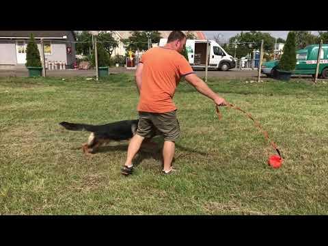 Bondi the German Shepherd Dog for sale by Euro Puppy