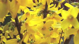 Fast Growing Forsythia