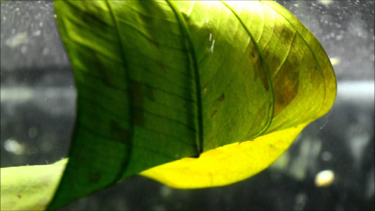 Aquarium Plant synthesis producing oxygen bubbles Bangladesh