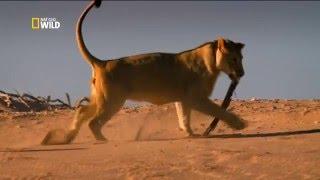 Короли на грани исчезновения.  Львы пустыни Намиб