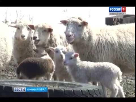 В Кусинском районе лиса покусала овец
