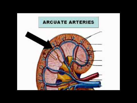 Urinary anatomy and Physiology for Ultrasound 1.wmv - YouTube