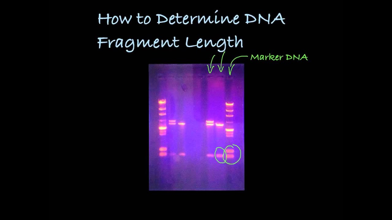 Determining Dna Fragment Length In A Gel Youtube