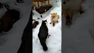 Кот против лисы
