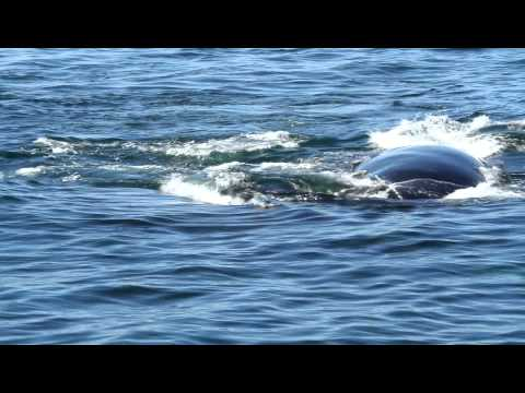 Right Whale.mov