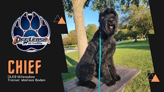 'Chief' Year Old Giant Schnauzer | Awesome Obedience Giant Breed