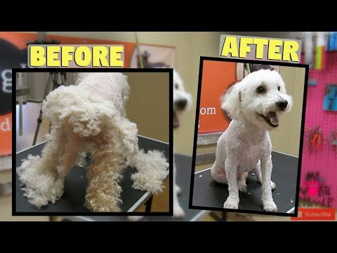 Really Matted Bichon Poodle Saved MUST WATCH