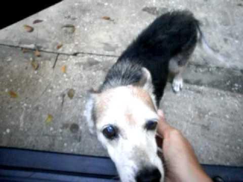 Talking Dog in Barbados saying hello.AVI
