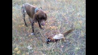 Первый вальдшнеп 2017 и охота на фазана