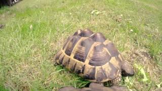 Tortoise POV Cam - GoPro Attached to Garden Tortoise