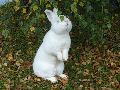 31 янв 2013. Лучшая мясная порода кроликов для кролиководства новозеландский белый кролик (new zealand white rabbit), пополнение в моем.