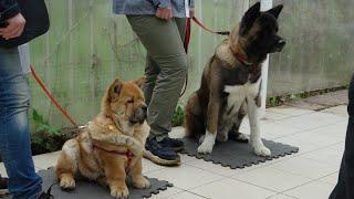 ДТ  156. Вторая собака в семье  выстраивание отношений. акита и чаучау.