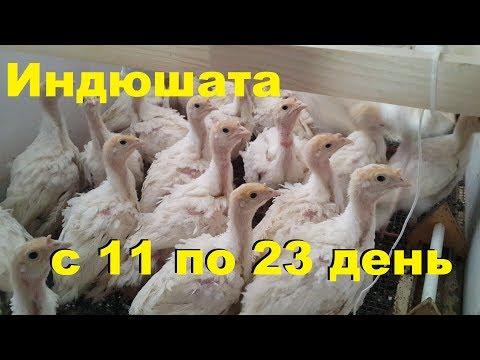 Индюшата с 11 по 23 день. Выращивание и содержание