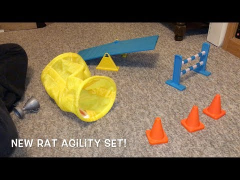 Reviewing A Toy Dog Agility Set As A Rat Agility Set!