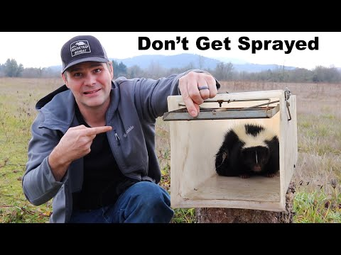 How To Trap A Skunk Without Getting Sprayed. Catching A Skunk Under My House. Mousetrap Monday