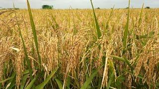 Rice Farming Is Most Profitable In Nigeria Today - Akinwunmi Part1