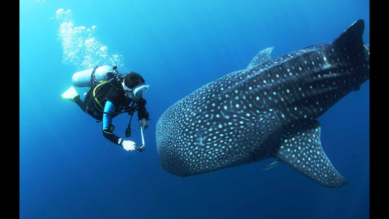 largest whale shark - photo #27
