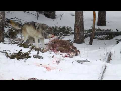 Yellowstone Wolf with Elk carcass