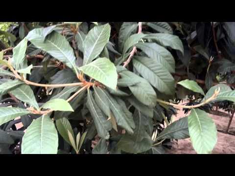 أشجار أكدنيا مثمرة - Gulf Plants
