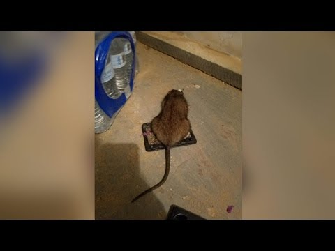 Growing rat infestation throughout Nassau County worrying residents