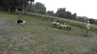 Entraînement sur troupeau à Farciennes http://www.ecopaturage.be