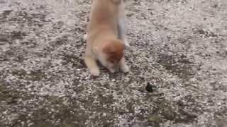 柴犬 (チャコ)生後3ヶ月