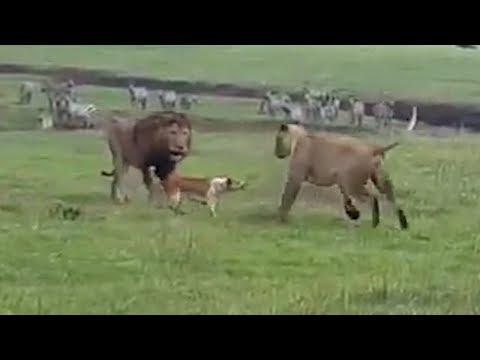 Собаки в деле! Собака против медведя, змеи, львов, грабителей...