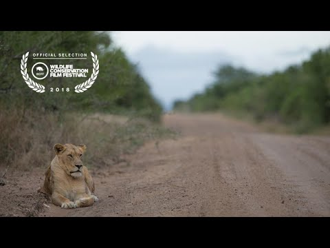 Lion Introduction - From Phinda Private Game Reserve to Somkhanda Community Game Reserve