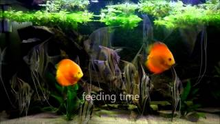 eMWu's Pterophyllum Altum and Discus fish aquarium - 2nd HD video
