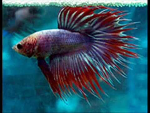 Betta fish tail types youtube for Different types of betta fish
