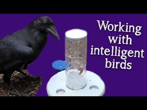 Fable the Raven | Enrichment - Puzzles, Colours & Conversation
