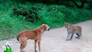 Леопард в Деле Леопард против Собаки Льва Птицы