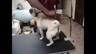 Teddy The Pug Dancing