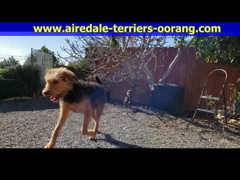 eight week old Airedale Terrier puppies