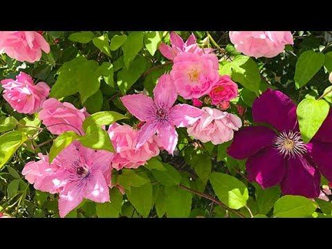 Клематисы и розы от мая до морозов