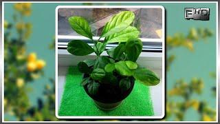 Как вырастить дома лимон из косточки (часть-3)
