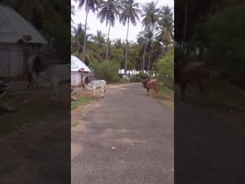 Overall view of  bull in  Venthan kangayam cattle farm muthur