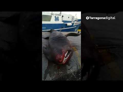 Pescan por accidente un tiburón peregrino de siete metros en Tarragona