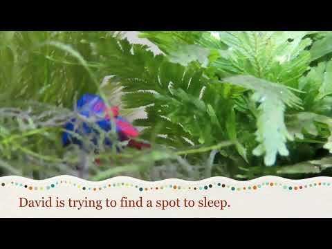 Betta Fish Sleeping On Leaf 4K HD