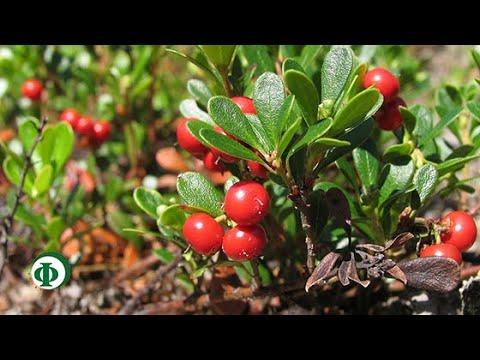 344 Толокнянка – народное средство для лечения почек и мочевого пузыря