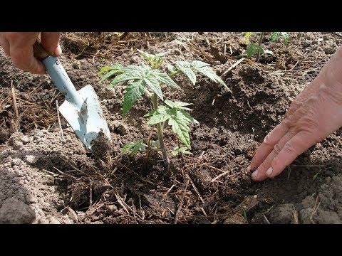 МАЛЕНЬКИЕ ХИТРОСТИ. КАК  ЛУЧШЕ ВЫСАЖИВАТЬ ТОМАТЫ В ОТКРЫТЫЙ ГРУНТ. | высаживать | петренко | открытый | томатов | садовый | рассаду | рассада | наталья | томаты | сажать
