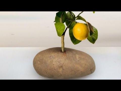 Put A Lemon Cutting In A Potato And Watch It GROW!!! organic growing how to grow lemon planting