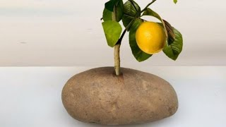 Put A Lemon Cutting In A Potato And Watch It GROW!!! thumbnail