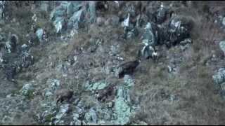 Polowanie w Rumunii na kozicę górską