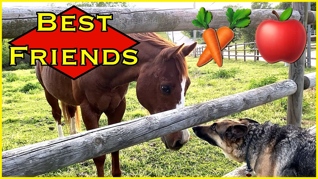 German Shepherd Super EXCITED to visit Horse (shoutout)