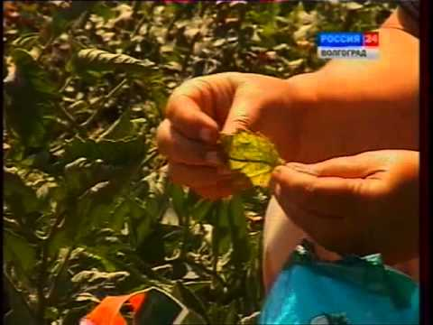 """видео: Как сохранить урожай. Болезни и вредители томата и огурца. Препарат """"Антиклещ"""""""