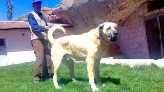 Repeat youtube video Jozo Dogs -Visit to Turkey