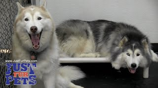 Northern Virginia Dog Daycare Wo-wooing Welcome|703-455-3333|Just Fur Pets