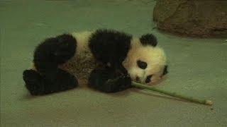 Baby Panda Bao Bao Melting Hearts at National Zoo
